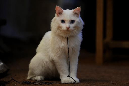 有俗语说猫有九条命这是真的吗